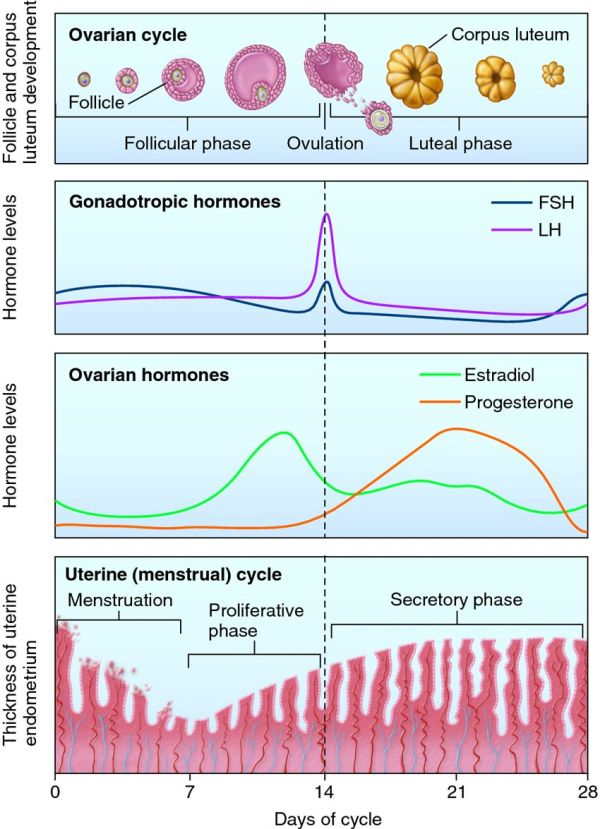 The ovarian cycle is divided into the follicular and luteal phases, while the uterine cycle is divided into menstruation and the proliferative and secretory phases.
